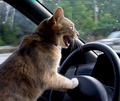 chat-volant.jpg